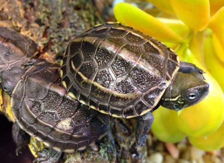 Reeves Turtle Care Sheet | Reptile Centre