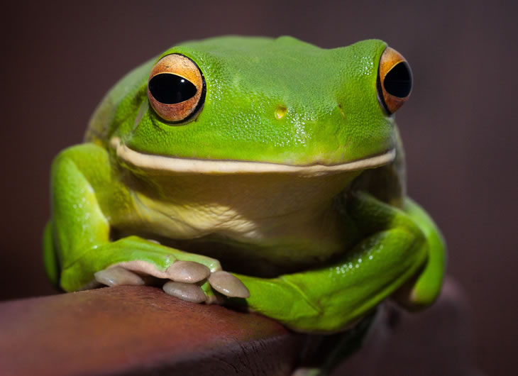 White Lipped Tree Frog Care Sheet Reptile Centre