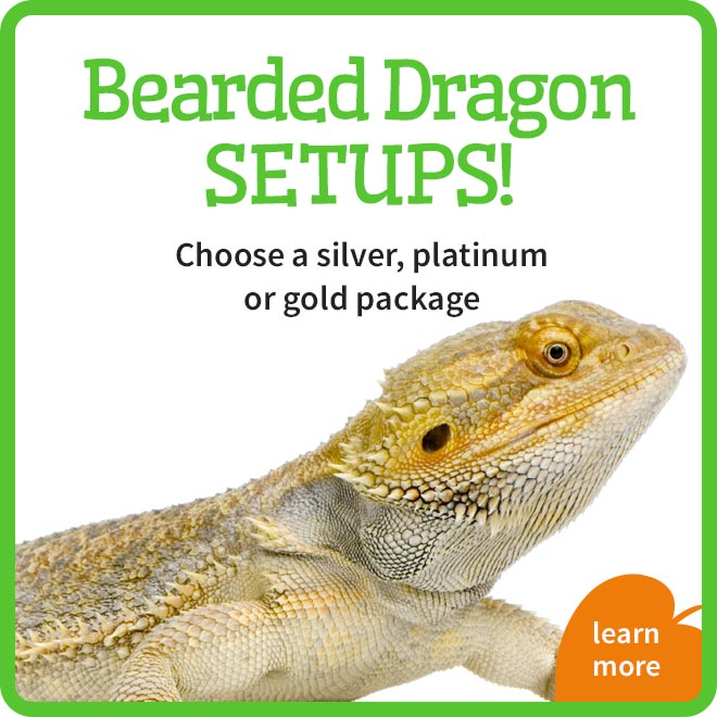 Bearded Dragon Setups
