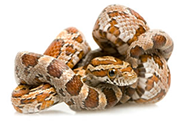 Snake Animal Pages