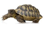 Tortoise and Turtle Animal Pages